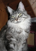 Mes maine coon : Angel